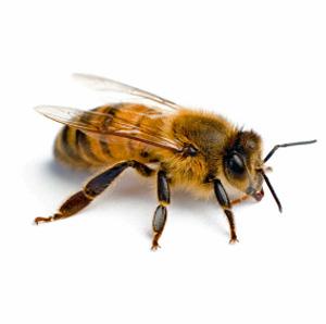 worker_bee